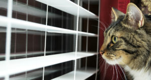Cat looking out of blinds